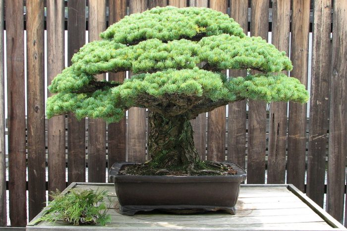 Acacia Bonsai landscape composition penang bonkey cultivated and styled by Leo