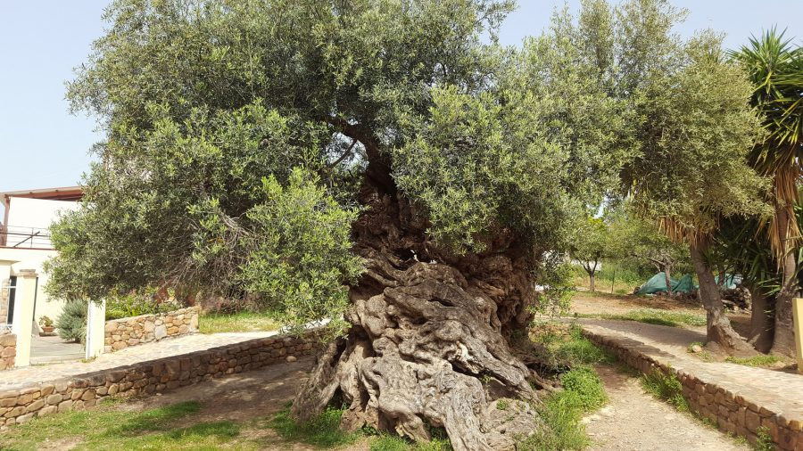 3 000 Year Old Olive Tree On The Island Of Crete Still Produces Olives Today Open Culture
