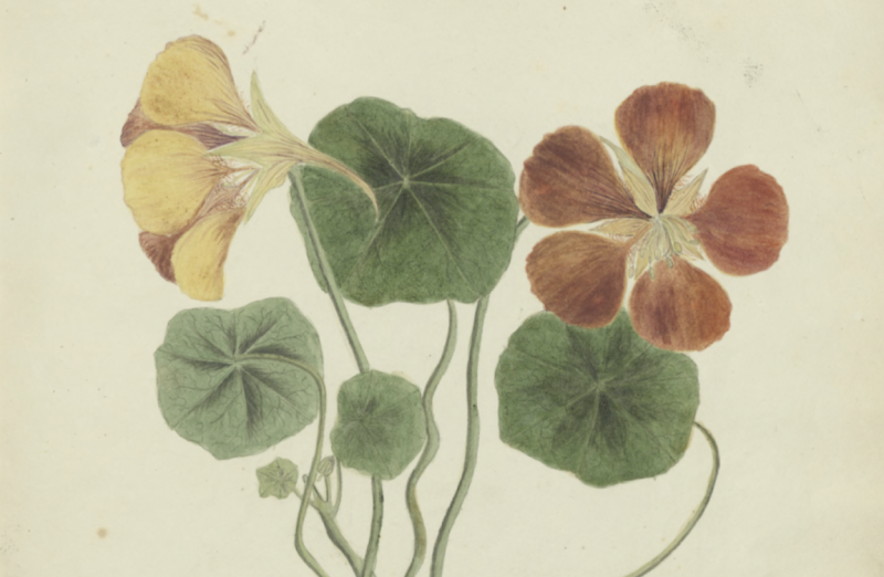 Historic Manuscript Filled with Beautiful Illustrations of Cuban Flowers & Plants Is Now Online (1826 )