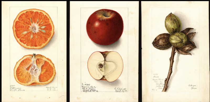 In 1886, the US Government Commissioned 7,500 Watercolor Paintings of Every Known Fruit in the World: Download Them in High Resolution