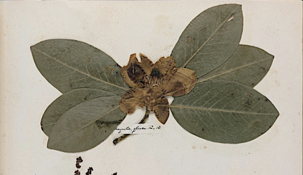 Discover Emily Dickinson's Herbarium: A Beautiful Digital Edition of the Poet's Collection of Pressed Plants & Flowers Is Now Online