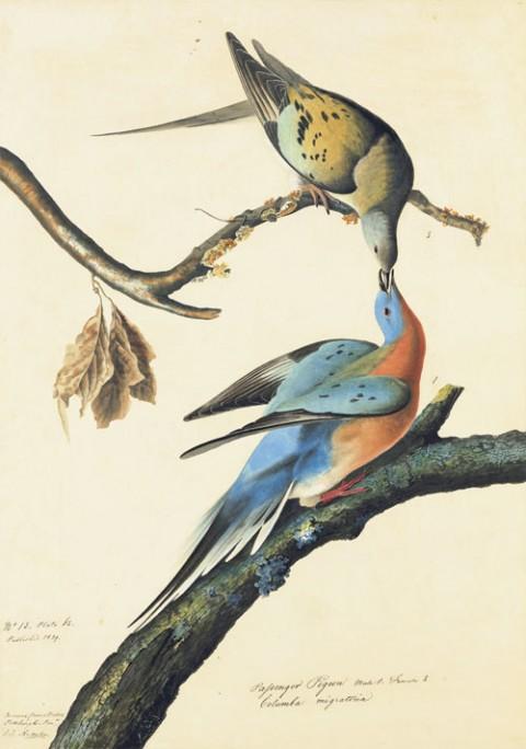 Passenger Pigeon Audubon .jpg