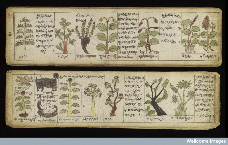 L0038345 Tibetan plant manuscript Credit: Wellcome Library, London. Wellcome Images images@wellcome.ac.uk http://wellcomeimages.org Illustrations of Tibetan materia medica, plant and animal, used in the production of medicine. Title: 'A Selection of Substances used for the Production of Medicine based on the Teaching of the four (medical) Tantras' This anonymous manuscript is written in the 'Trungpa' ('khrungs dpe) genre of Tibetan medical literature. Entitled, 'Sman bla'i dgongs rgyan rgud bzhi'i nang gi 'khrungs dpe re zhig', it deals with various material medica, plant and animal, used in the production of medicine. The book comprises unbound sheets of thick (perhaps Russian?) paper held together by two boards and wrapped in a piece of cloth. The medical illustrations are finished in colour. The manuscript is very rare and obviously very expensive. Its owner made a significant effort to obtain illustrations for every medicine mentioned, including plants, stones and animals. There are several suggestions about the origin of the manuscript. It might well be a copy from Sangye Gyatso's 'tankas', possibly written by a painter or doctor who travelled from Mongolia to Lhasa. It could have been transcribed in Tibet and subsequently sold to Mongolia. There is a similarity between the images of material medica in this manuscript and those found in the 19th century Tibetan xylographs of medical works, like the 'Mdzes mtshar mig rgyan', which circulated in the territory of Mongolia in the nineteenth century. 18th century Sman bla'i dgongs rgyan rgud bzhi'i nang gi 'khrungs dpe re zhig 'A Selection of Substances used for the Production of Medicine based on the Teaching of the four (medical) Tantras Published: - Copyrighted work available under Creative Commons Attribution only licence CC BY 4.0 http://creativecommons.org/licenses/by/4.0/