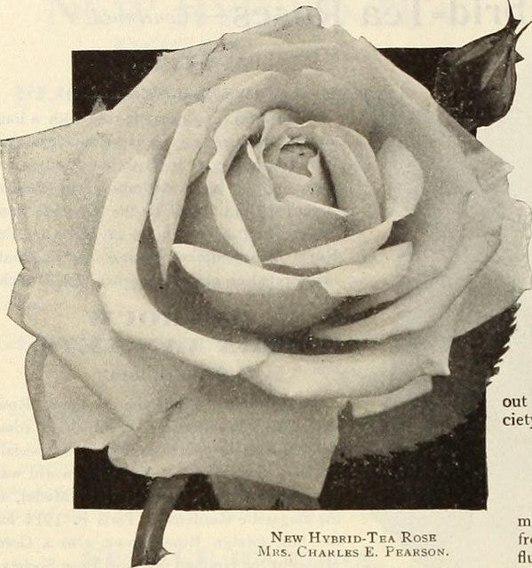 flickr rose